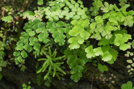 vertica: Adiantum Fern,Maidenhair fern