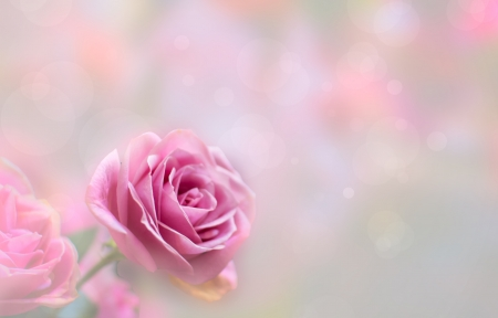 Blossom pink roses and bokeh  photo