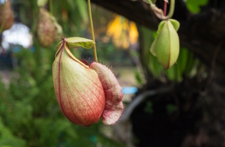 Nepenthe flower, pitcher plant in garden photo