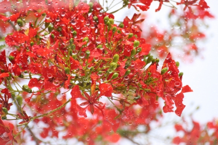 Abstract red flame tree flower and rain drop Stock Photo - 22739363