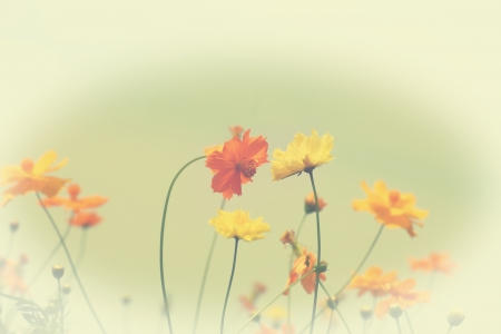 Yellow cosmos flower in vintage  style photo