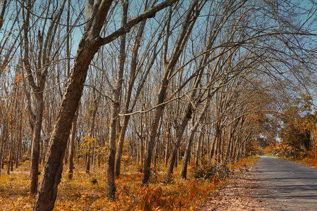 Rubber Plantation in autumn style with road photo