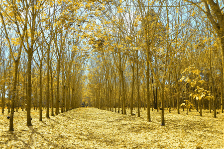 Rubber Plantation in autumn style photo