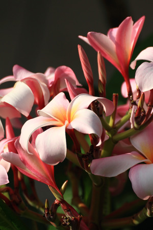 Pink frangipani flowers or tropical flower with leaves photo