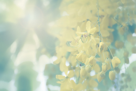 drumstick tree: Golden shower flower,national tree of thailand in vintage style Stock Photo