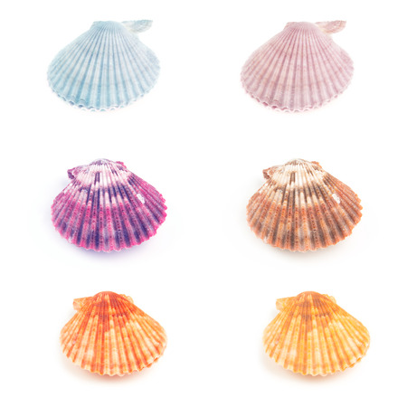 Colorful set  of Scallop seashell isolated on white background photo