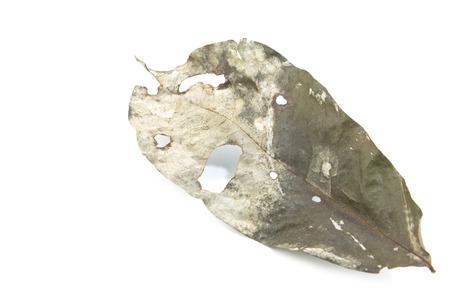 Single dry leaf isolated on white background photo