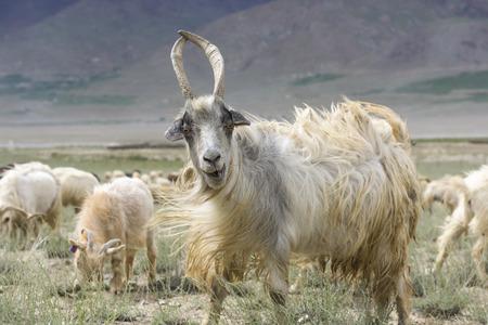 cabra de Cachemira en la India hermoso paisaje con picos de nieve de fondo