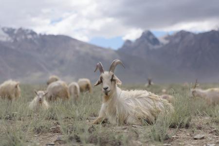 Kashmir goats in beautiful Zanskar landscape with snow peaks background,North India