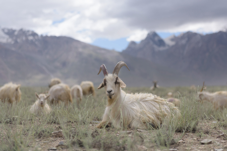 les chèvres du Cachemire dans le beau paysage Zanskar avec des pics de neige fond, Inde du Nord Banque d'images