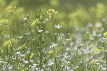 mustard field: Closed up beautiful mustard flower field background
