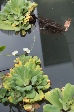 salvinia: Big water lettuce in pond