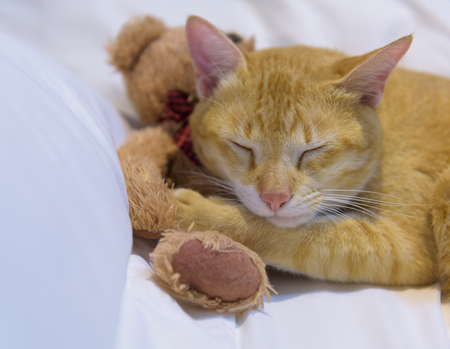 A cute yelllow cat sleep on white cozy bed with teddy bear