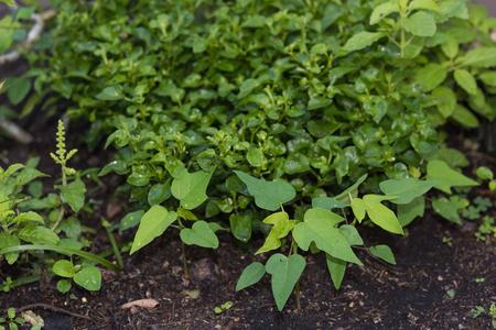 green papaya salad: Green vegetable plants background,young papaya