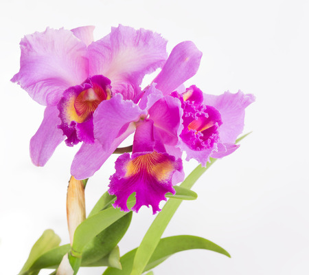 fragility: Beautiful pink Cattleya orchid flower isolated on white background