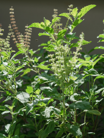 Flower of Holy basil,Ocimum sanctum in green garden background,useful for  Thai herbs,spices and food ingredient