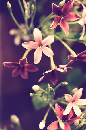 Close up Rangoon creeper or Quisqualis indica flower background,retro filter Stock Photo