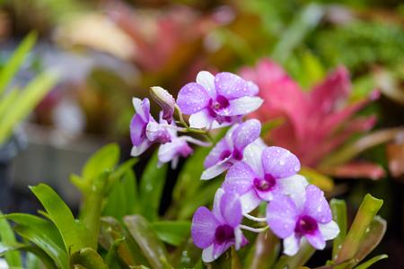 Beautiful purple orchid and Bromeliad in green garden outdoors,rain season Stock Photo