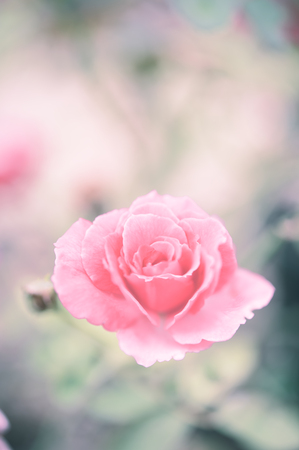 Vintage rose flower garden soft pastel  background Stock Photo