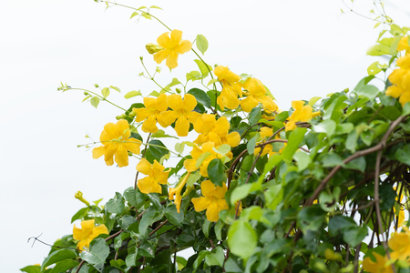 Beautiful yellow flowers with green leaves  on metal fence  over white background ,Cat's Claw, Catclaw Vine, Cat's Claw Creeper plants Banque d'images