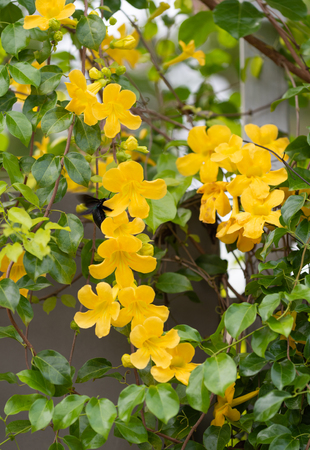 Beautiful yellow flowers with green leaves  on metal fence against summer blue sky background,Cat's Claw, Catclaw Vine, Cat's Claw Creeper plants