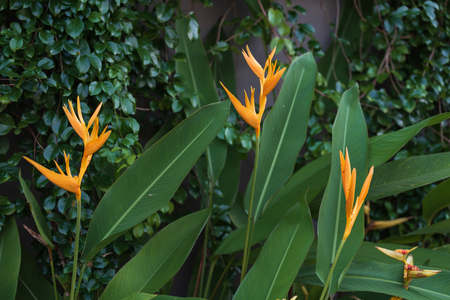 Exotic yellow Heliconia psittacorum ,Golden Torch, flowers with healthy green foliage leaves background,dark tone Stockfoto