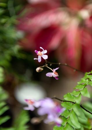 Doritis pulcherrima  Lindl,.beautiful orchid in garden Banco de Imagens - 119066028
