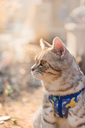 Lovely healthy  kitty with beautiful yellow eyes wearing collar for safety in outdoor garden with morning sunlight Stockfoto