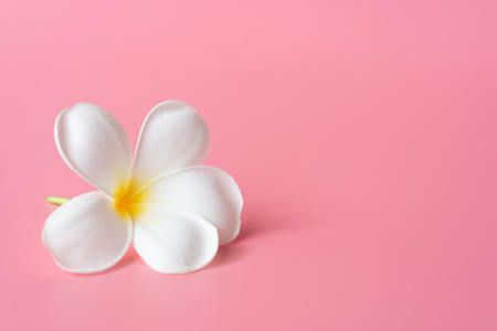 Belle fleur de Plumeria blanc sur fond rose Banque d'images