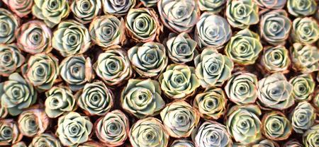 succulent: Succulent bonsai Stock Photo
