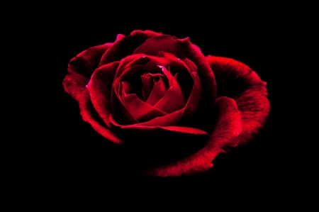 A red rose on a black background  Stock Photo - 16066225