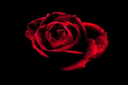 rosas negras: Una rosa roja sobre un fondo negro Foto de archivo