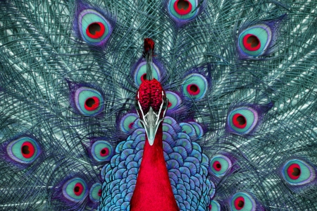 An peacock in abstract colors