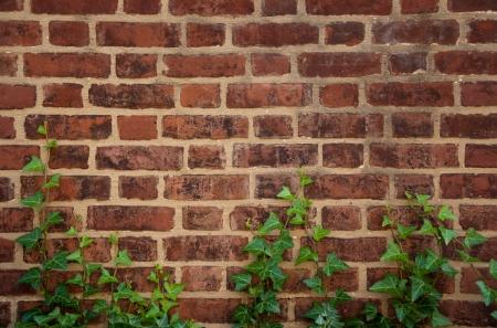 ivy wall: English ivy grows up a brick wall