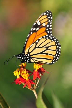 A monarch butterfly pollinates a flower