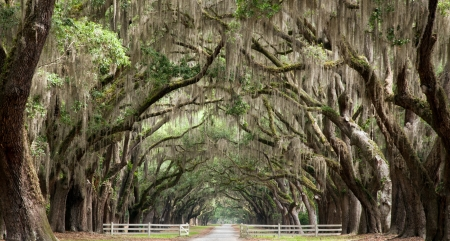 Live oak trees create a tunnel effect