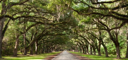 Live oak trees beside a road  photo