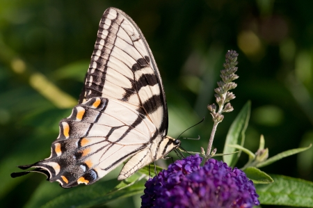 An eastern tiger swallowtail on a butterfly bush  Фото со стока