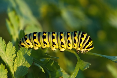 A black swallowtail caterpillar feeds on a plant