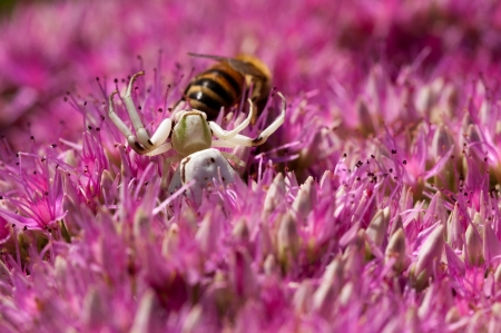 flower crab spider: A white crab spider waits for prey as a honey bee collects pollen  Stock Photo