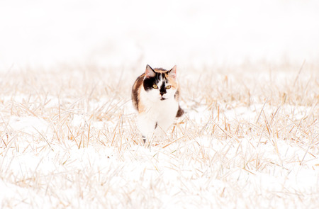 A calico cat in snow and ice