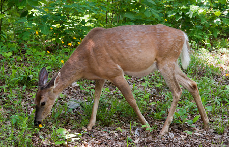 white tail deer: A white tail deer grazing on flowers