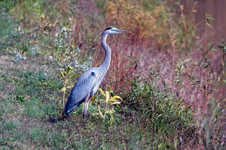 shore line: A blue heron  standing on a lake shore line.