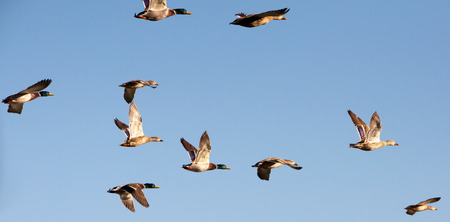 mallard: A flock of mallard ducks flying.