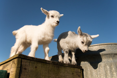 pygmy goat: Newborn pygmy goats like to play and rest. Stock Photo