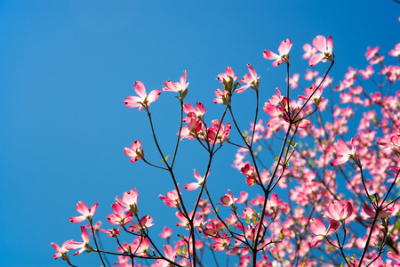 dogwood tree: A pink dogwood tree in full bloom with blue sky. Stock Photo