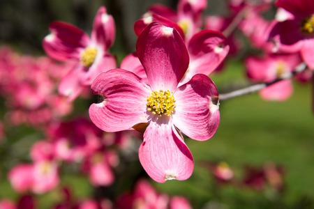 dogwood tree: Pink dogwood tree in full bloom in spring.