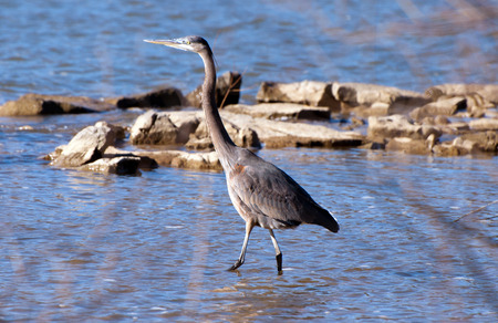 blue heron: A blue heron wades in water looking for something to eat.