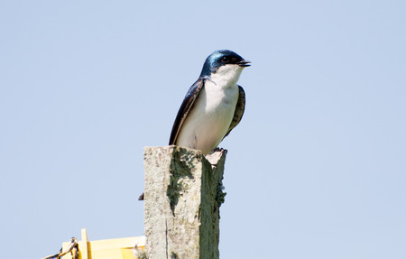 perched: A barn swallow is perched on a fence post. Stock Photo