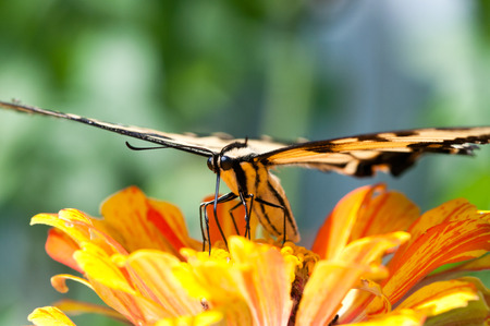 pollinate: A tiger swallowtail pollinating a marigold bloom. Stock Photo